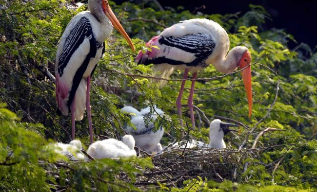 Painted storks with their new born chicks at the Delhi zoo...