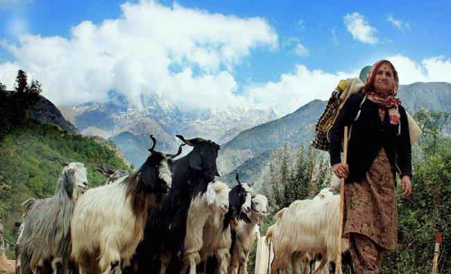 A Gaddi community woman shepherd along with her livestocks near Dharamsala ...