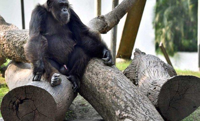 A Chimpanzee sitting on logs during winter season, at Alipore Zoological Garden in Kolkata...