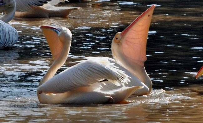 A great white pelicans at Assam state zoo in...
