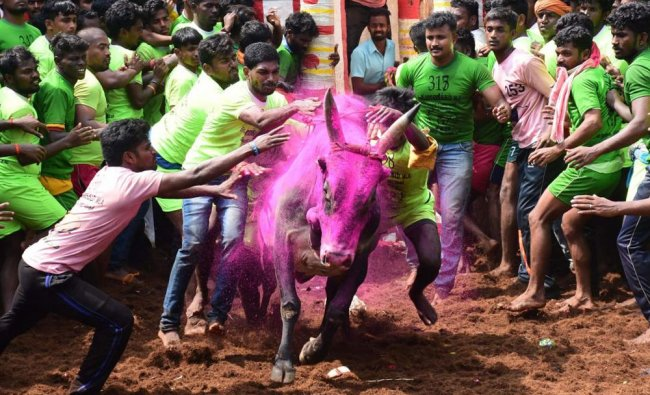 Participants trying to tame a bull during the Alanganallur jallikattu in Madurai district...