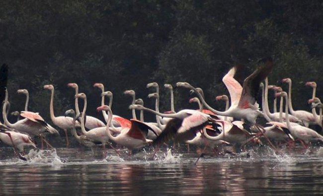 Lesser flamingos seen at Aroli creek in Mumbai on Tuesday during winter...