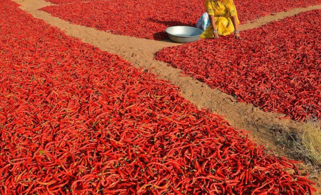 A woman dries red chillies at a field in a village near Jodhpur on Thursday....