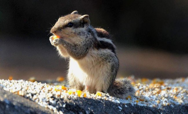 A squirrel eats corn grains on a cold winter morning in Bhopal ...