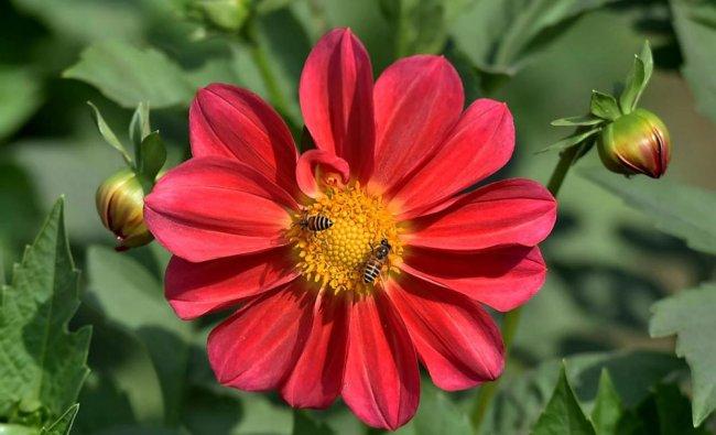 Honey bees visit a flower near Vijay Chowk area in New Delhi...