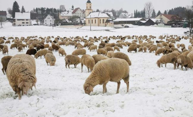 A flock of sheep searches for food on a snow-covered meadow in Goeffingen, Germany, 03 March 2018.
