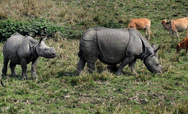 One-horned rhinoceroses graze in Pobitora Wildlife Sanctuary...