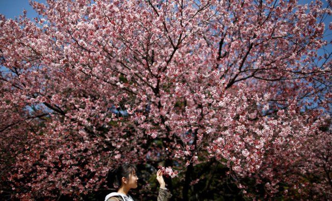 A visitor looks at early flowering Kanzakura cherry blossoms in full bloom at the Shinjuku Gyoen...