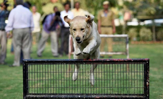 Babu from the Canine unit of Delhi Police jumps off the barrier to show its skills during the...