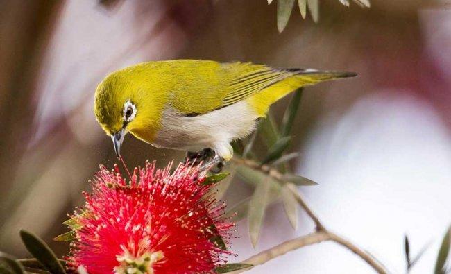 An Oriental White-eye bird feeds on a Bottle Brush tree in bloom, in Gurgaon ...