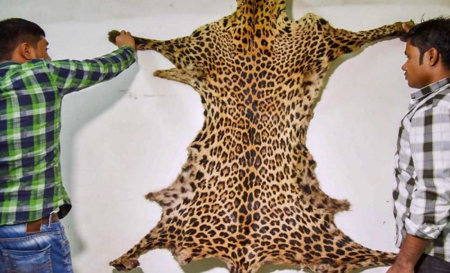 Team members of Anti Smuggling Unit displaying a leopard skin recovered, in Guwahati...