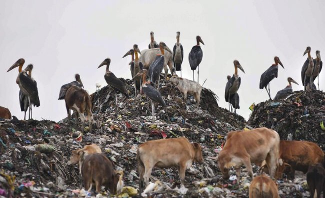 Cows and Adjutant storks feed on the waste at a garbage dumping site, in Guwahati on Sunday. PTI Photo