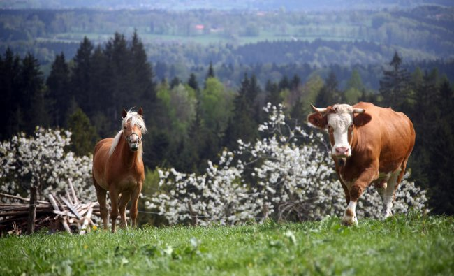 A cow and a horse stand on a field on top of the Taubenberg mountain near Warngau, Germany. Reuters Photo