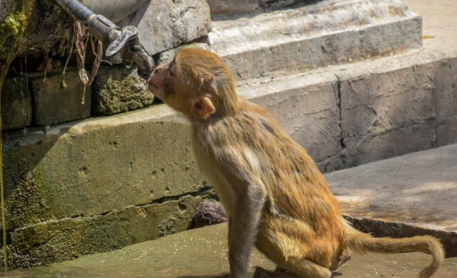 A monkey drinks water from a water tap on a hot, summer day in Allahabad on Friday. PTI Photo