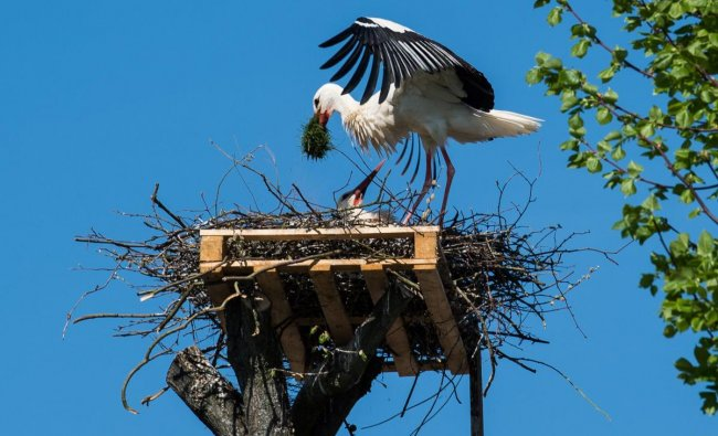 Two storks build a nest on a pallet on-top of a tree in Poehlde, Germany, 19 April 2018. Photo: Swen Pförtner/dpa/PTI