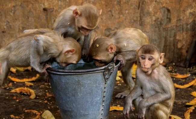 A group of monkeys drink water out of a bucket on a hot, summer day at Galta temple in Jaipur on Thursday. PTI Photo