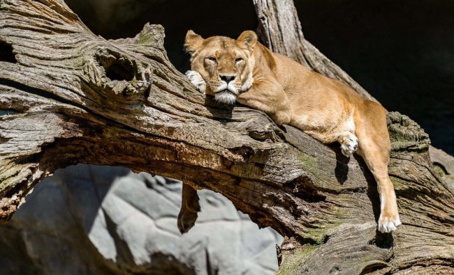 A lioness lies under the sun inside its enclosure at the Tierpark Hagenbeck in Hamburg, Germany, 04 May 2018. Photo: Axel Heimken/dpa/PTI