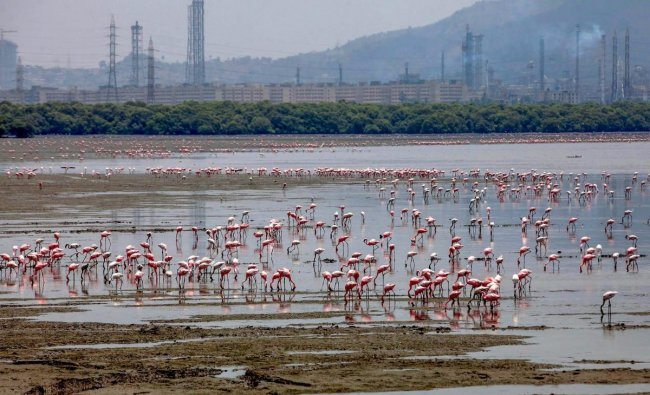 Flamingos at Sewri jetty mudflats in Mumbai on Monday. PTI