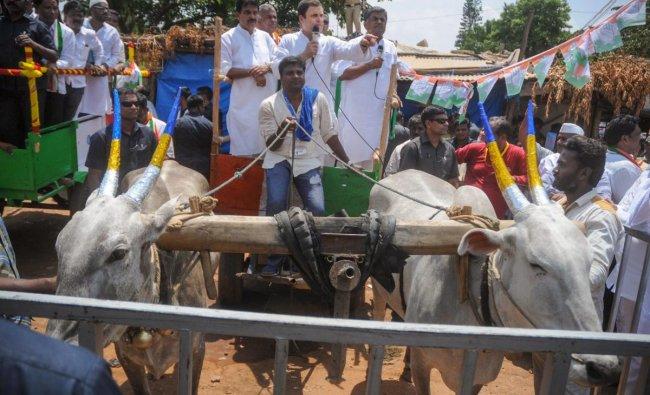 Congress President Rahul Gandh takes a bullock cart ride during his roadshow at Malur in Kolar district on Monday. PTI