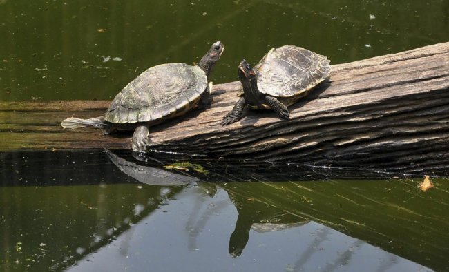 A pair of turtles bask in the sun in their enclosure at Assam State Zoo in Guwahati. PTI Photo