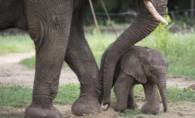 An African Elephant (Loxodonta africana) calf stands next to its mother Kwanza four hours after its birth in the Nyiregyhaza Animal Park in Nyiregyhaza, 245 kms east of Budapest, Hungary, Saturday, June 16, 2018. AP/ PTI