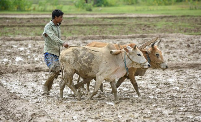 A farmer ploughs his field to plant paddy, in Nagaon on Sunday. PTI Photo