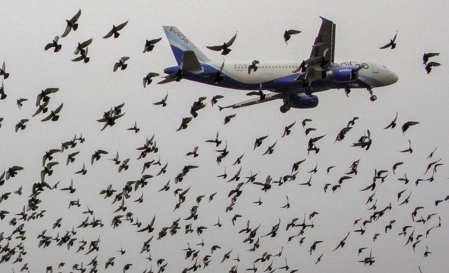 Birds fly around a landing Indigo aircraft near Biju Patnaik International Airport, in Bhubaneswar on Monday, June 25, 2018. PTI