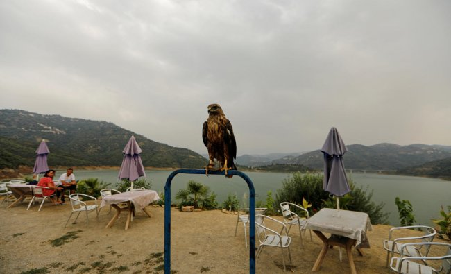 A falcon is pictured as tourists sit at the terrace of a restaurant at the top of the Taksabt water dam in Tizi Ouzou, Algeria. (Reuters Photo)