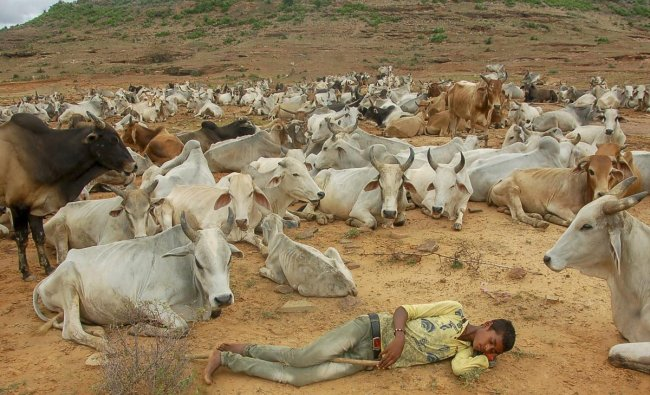 A cattle herder rests as cows graze on a field, near Vindhyanchal Mountain, in Mirzapur. (PTI Photo)