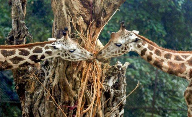 A pair of giraffe inside their enclosure at Alipore Zoological Garden, in Kolkata. (PTI Photo)