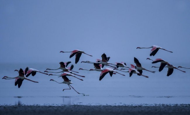 A flock Flamingos fly over the Sambhar Salt Lake about 75km from Jaipur, on Friday, Aug. 3, 2018. Every year in the month of July, thousands of flamingos arrive at Sambhar Salt Lake, India's largest inland saline wetland. In the past few decades, the number of these birds has fallen drastically due to pollution caused by illegal salt-making units and over-extraction of subsurface brine around the lake. (PTI Photo)