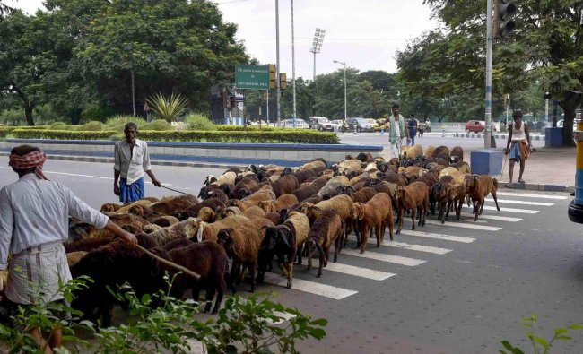 A shepherd drives a herd of sheep across the zebra crossing, in Kolkata on Monday, Sept 3, 2018. (PTI Photo/Ashok Bhaumik)