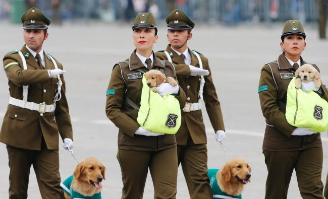 Chilean police officers march with golden retriever puppies, the newest members of the national police\'s canine training unit, during the annual military parade at the Bernardo O\'Higgins park, in Santiago, Chile, September 19, 2018. Picture taken September 19, 2018. REUTERS/Rodrigo Garrido