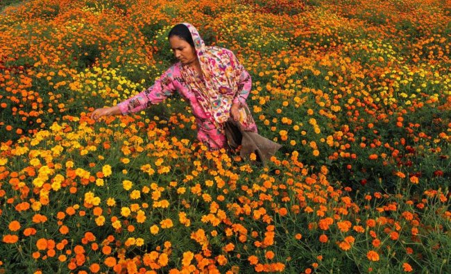 A woman plucks marigold flowers for the Diwali festival at Swankha Morh about 35km from Jammu, Sunday, Nov 4, 2018. (PTI Photo)