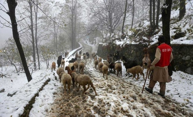 A man herds a flock of sheep through a snow coverd road in Srinagar, Sunday, November 4, 2018. Apple crop worth crores has been damaged in Kashmir due to early snowfall as large number of fruit-laden apple trees have either been uprooted or their stems have broken. (PTI Photo/S. Irfan)