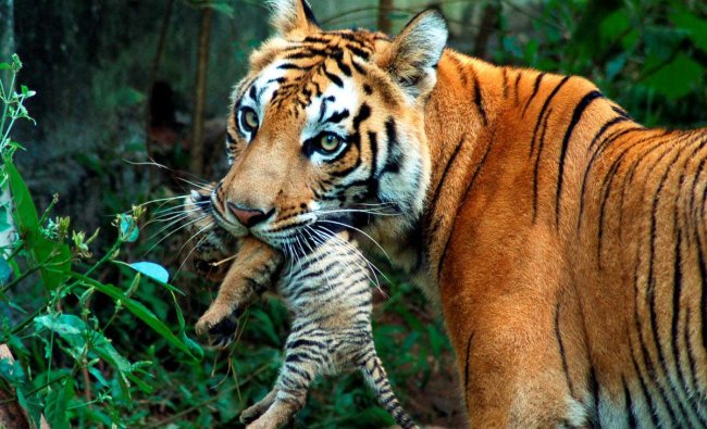 A tigress carries her cub at a zoological park in the northeastern city of Guwahati October 24, 2007. REUTERS