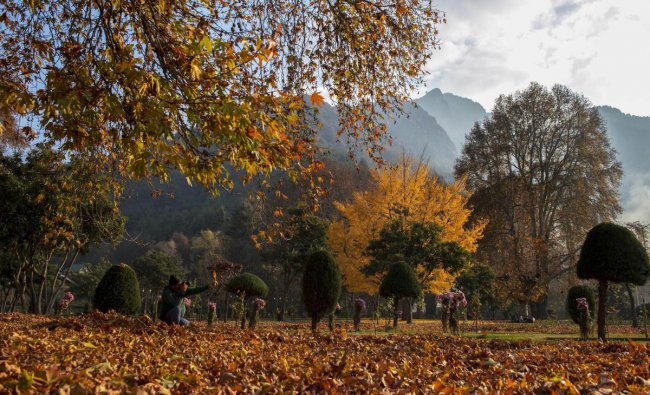 A photographer clicks a photo of dried Chinar leaves at a garden, in Srinagar, Friday. PTI photo