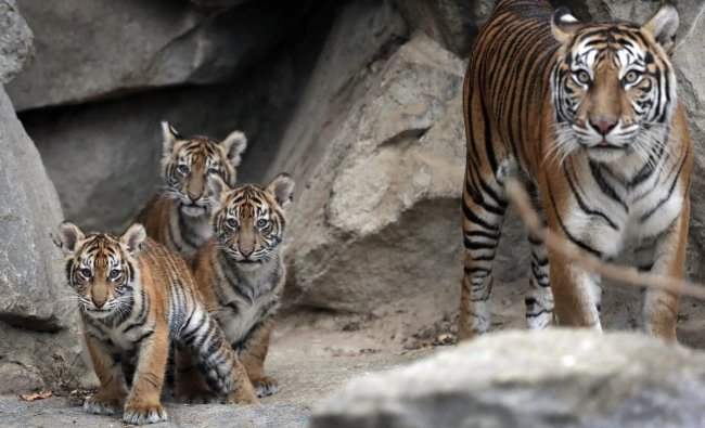 Four young Sumatran tiger are guided by their mother Mayang, right, as they explore their enclosure after spending the first weeks of their life in their litter cave at the zoo in Berlin, Germany. AP/PTI photo