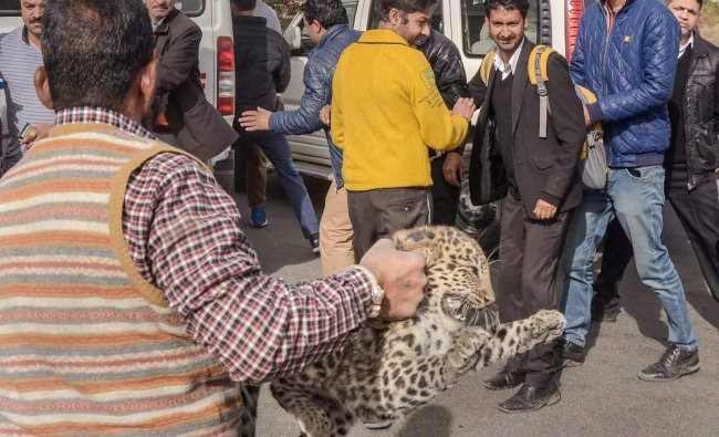 Shimla: Forest officals rescue a leopard cub from a district courts complex at Chakkar, in Shimla, Tuesday, Nov.27, 2018. The residents of Shimla were gripped by panic after a leopard cub was sighted near district courts complex at Chakkar on Tuesday morning. The animal was later rescued by forest officials. (PTI Photo)