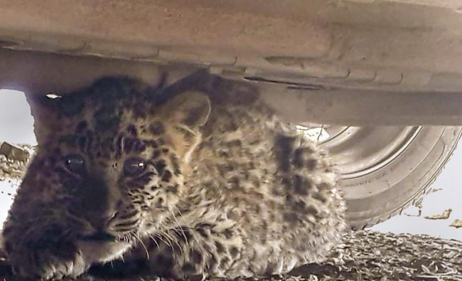Shimla: A leopard cub hides under a car near district courts complex at Chakkar, in Shimla, Tuesday, Nov.27, 2018. The residents of Shimla were gripped by panic after a leopard cub was sighted near district courts complex at Chakkar on Tuesday morning. The animal was later rescued by forest officials. (PTI Photo)