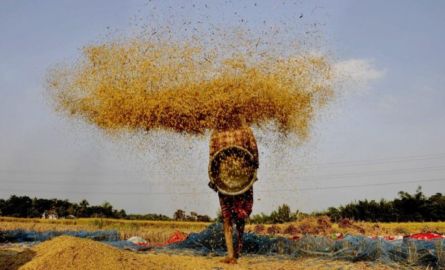 A farmer winnows paddy at a field on the outskirts of Agartala. (PTI Photo)