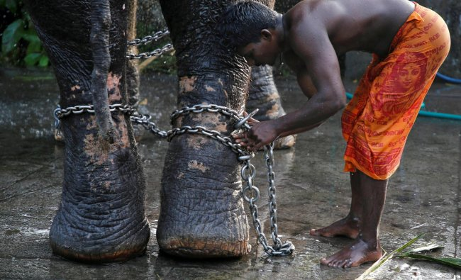 A mahout ties a chain around the legs of his elephant after bathing it during the annual eight-day long Vrischikolsavam festival, which features a colourful procession of decorated elephants along with drum concerts, at Sree Poornathrayeesa temple in Kochi. (Reuters Photo)