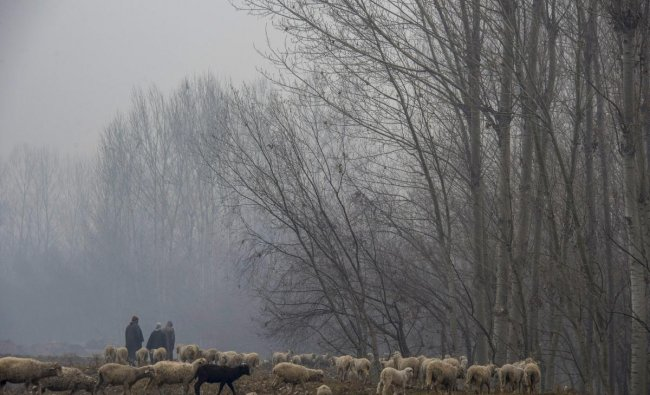 Shepherds herd their sheep in a field on a cold and foggy day in Srinagar. (PTI Photo)