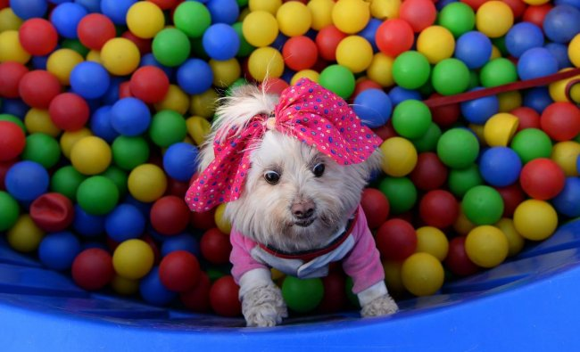 A pet play in is pictured during the \'Pet Fed\', a pet festival, in New Delhi on December 16, 2018. - The two-day pet festival ended on December 16 and showcased activities like adoption camps, fashion and security dog shows. (AFP)