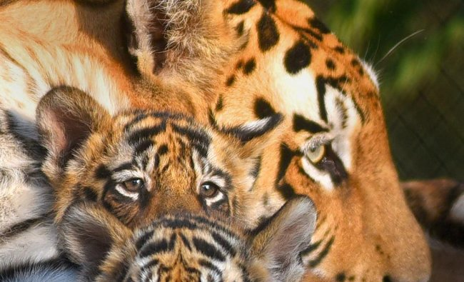 A tigeress rests with newborn cubs at a zoo, in Indore, Wednesday, Dec. 19, 2018. (PTI Photo)