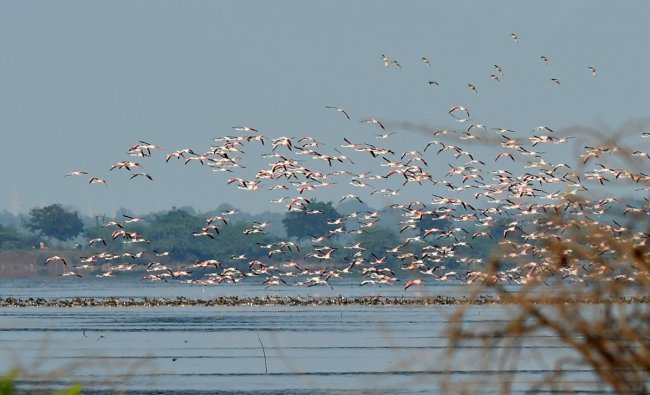 Migratory Flamingos fly above Pulicat Lake near Sriharikota, Wednesday, Dec. 19, 2018. (PTI Photo/R Senthil Kumar)