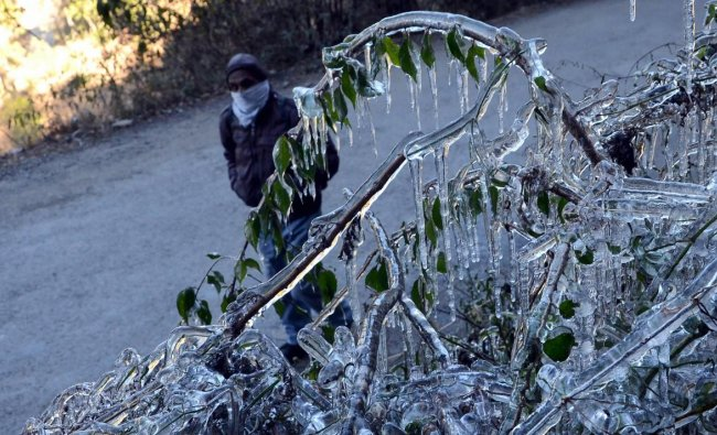Icicles hang from the bushes, on a cold, winter morning, in Shimla. PTI