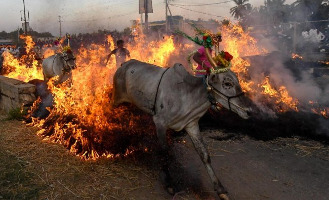 Bulls are made to jump across a blazing wall of fire during annual rituals to exorcise evil, on Makar Sankranti festival, at a village near Mysore. PTI photo