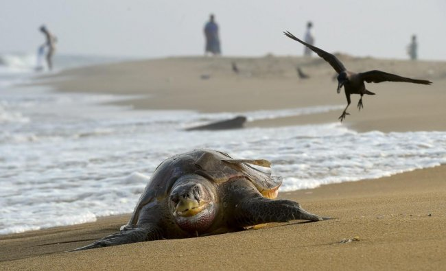 The carcass of an olive ridley turtle that washed ashore along the coast of Bay of Bengal, in Chennai. The dead turtle was among many that were washed ashore, sending shockwaves among the marine conservationists. (PTI Photo/R Senthil Kumar)