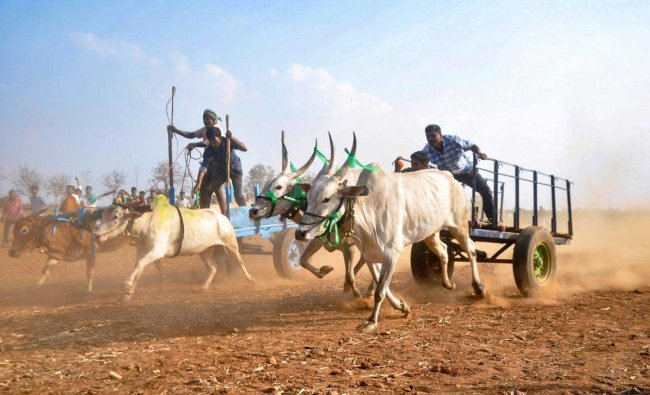 Farmers participate in a bull race during Sahyadri Festival at Abbalagere village in Shimoga district, Jan. 25, 2019. (PTI Photo)
